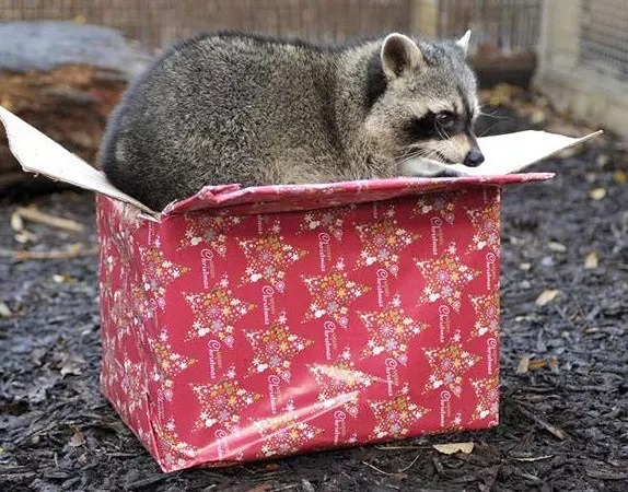 Raccoon With a Christmas Present