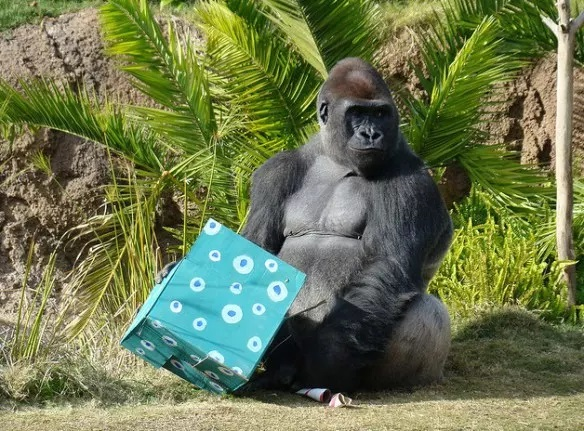 Gorilla With a Christmas Present