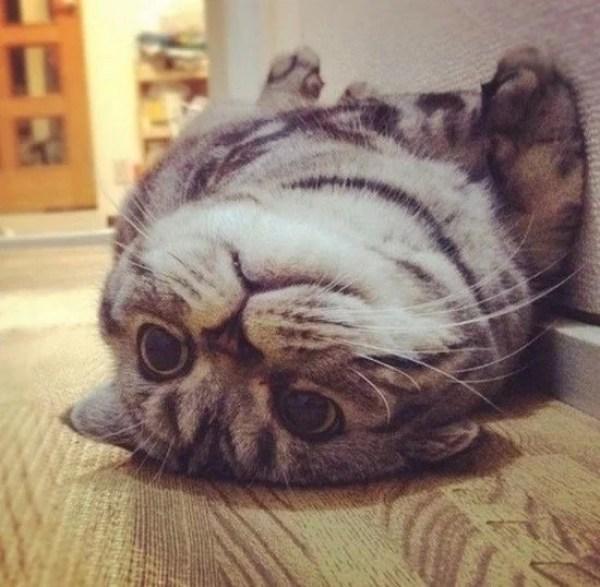 Fat Cat Who Has Overeaten