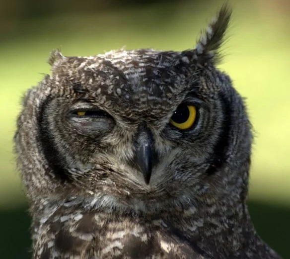 Owl that looks like it has a hangover