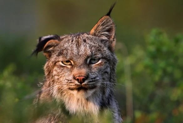 Lynx that looks like it has a hangover