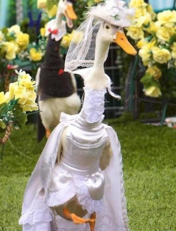 Swans Getting Married