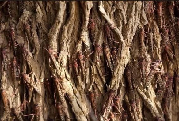 Locust Swarm on a tree