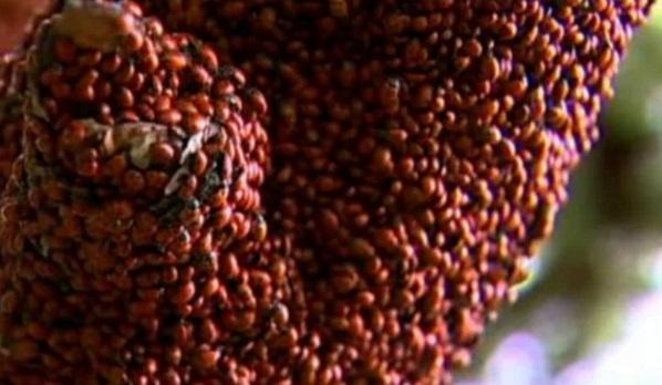 Ladybirds Swarm on a tree