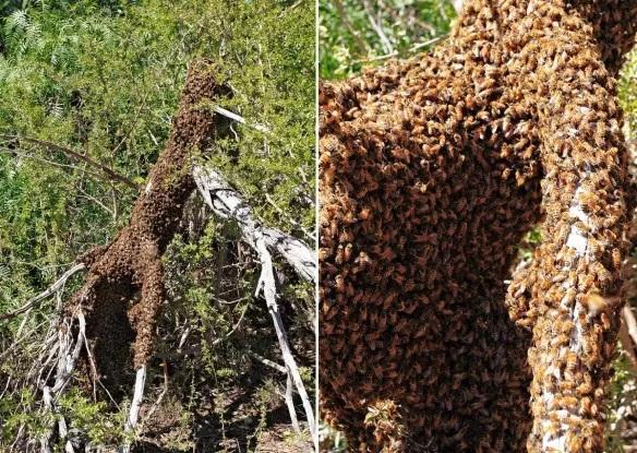 Bee Swarm on a tree