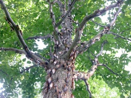 Cicadas Swarm on a tree