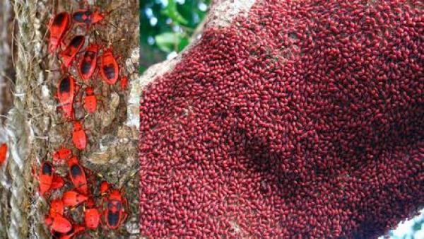 Firebug Swarm on a tree