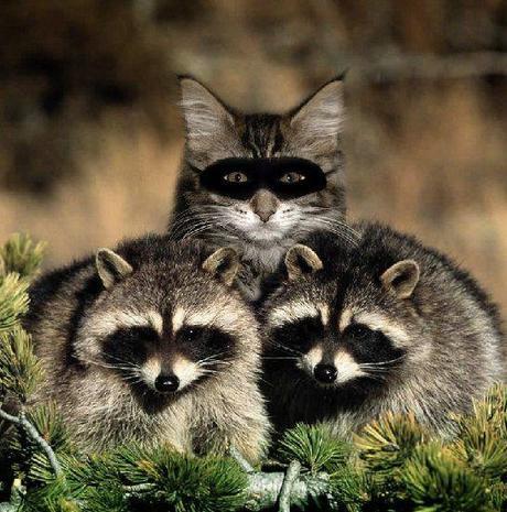 cat pretending to be a raccoon