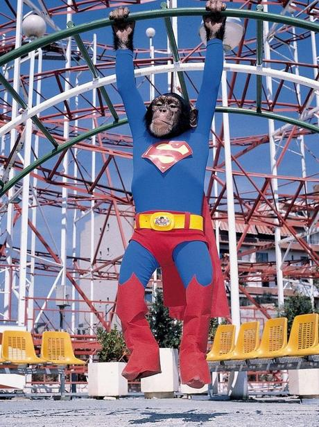 Chimpanzee in a Superman Costume