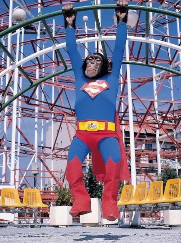 Chimpanzee in a Superman Costume