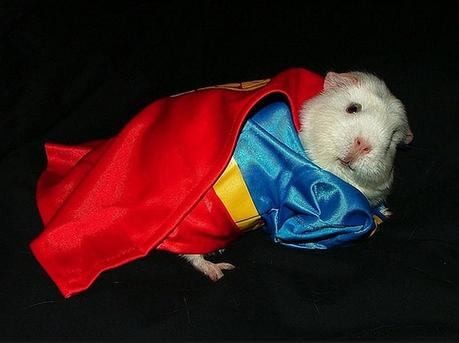 Guinea pig in a Superman Costume