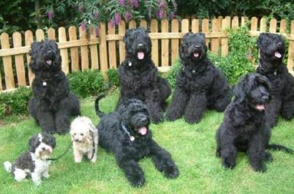 Large dogs in a pack look the same