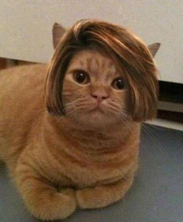 Cat wearing a wig