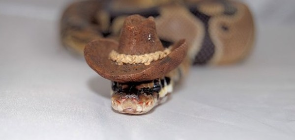 Top 10 Images of Snakes Wearing Tiny Hats