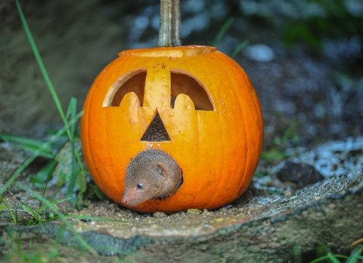 Dwarf mongoose Inside a Pumpkin