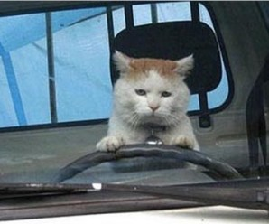 Ten Pictures of Cats Driving Who Probably Don't Have a Licence!