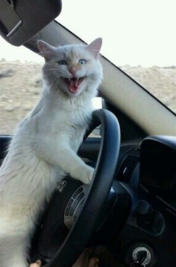 Cat driving a car