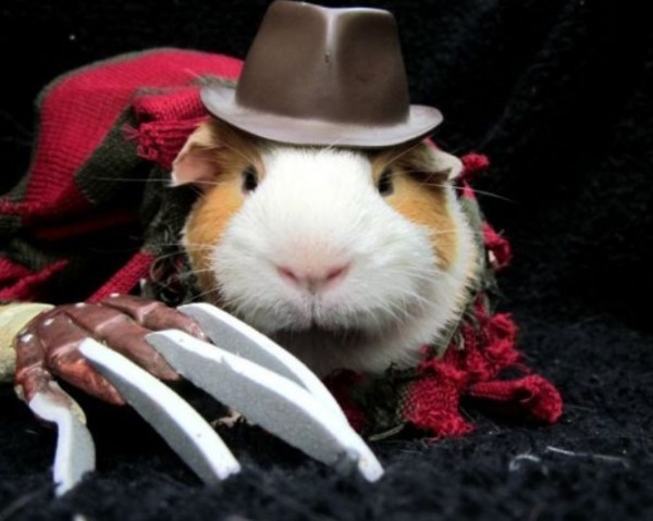 https://i0.wp.com/theverybesttop10.com/wp-content/uploads/2015/01/Top-10-Best-Guinea-pigs-in-Fancy-Dress-10.jpg?resize=600%2C479&ssl=1