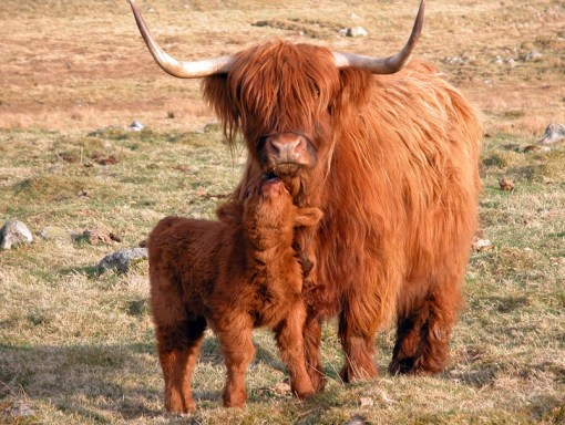 Top 10 Strange, Rare and Unusual Breeds of Cow
