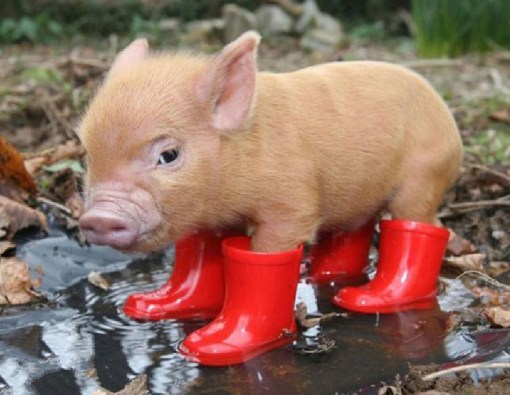 Top-10-Pictures-of-Pigs-in-Boots-2.jpg?r