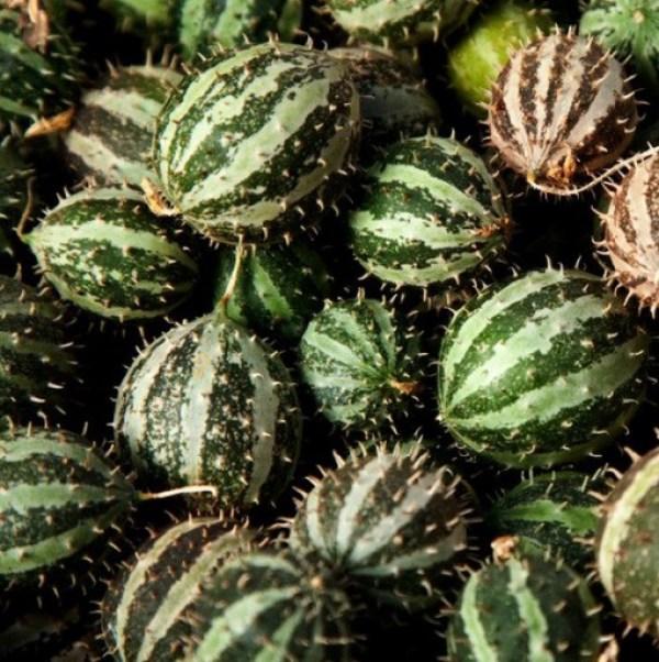 Top 10 Rare and Unusual Cucumbers