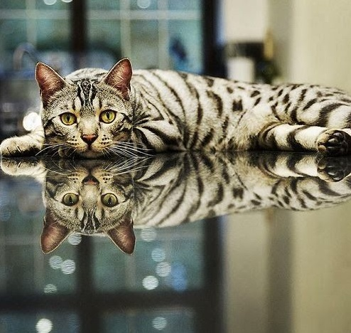 Top 10 Reflective Cats in Reflections width=
