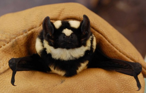 Top 10 Rare And Unusual Species of Bats