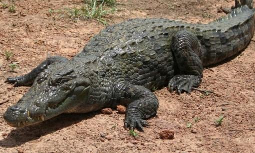 Top 10 Rare or Unusual Crocodiles and Alligators