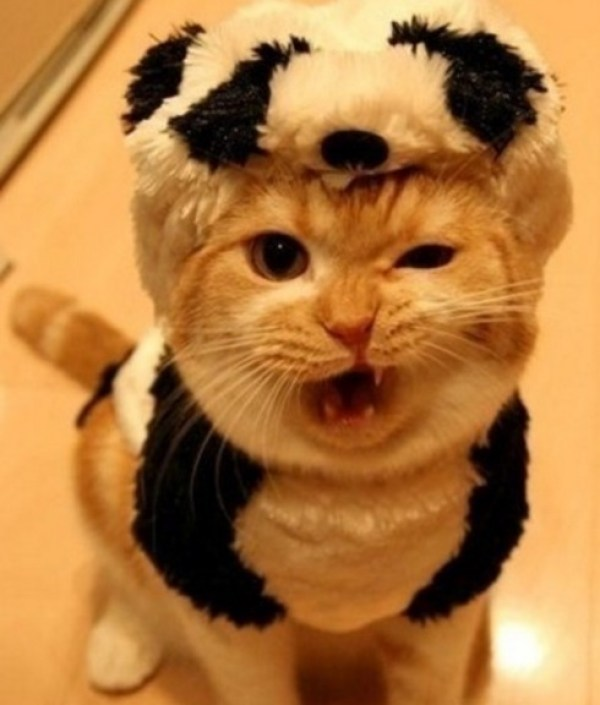 Top 10 Large, But Not So Giant Panda Cats