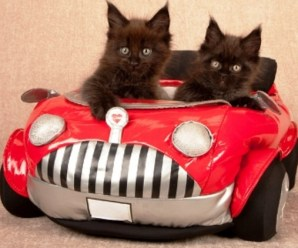 Top 10 Fully Licenced Cats Who Drive For a Living