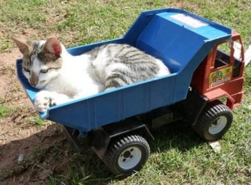 Cat Driving A Truck