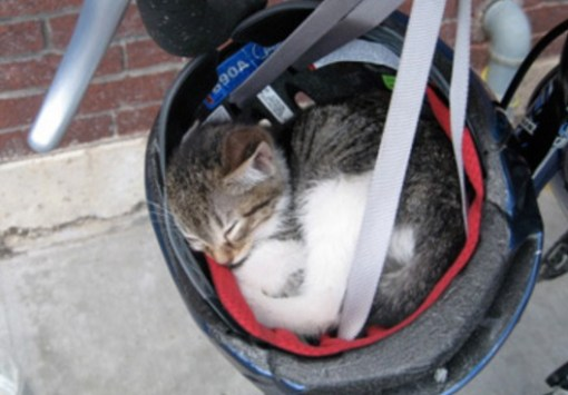 Cat Asleep Inside a Bike Helmet