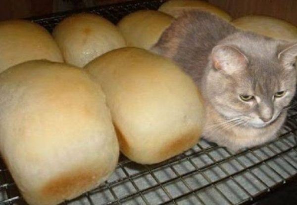 Cat Looks Like a Loaf Of Bread