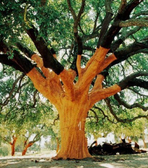 The Whistler Tree, Alentejo