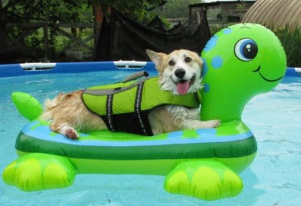 Dog Wearing Pool Safety Equipment