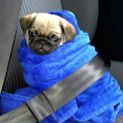 Dog Wearing Car Safety Belt