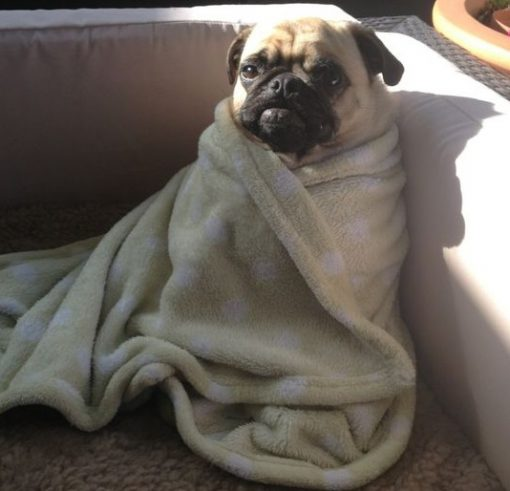 Cool Down Your Dog By Wrapping Them in a Wet Towel
