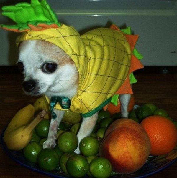 Pineapple Dog Costume Fail