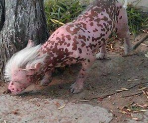 Ten Dogs That Look Like Pigs in Costumes and Just Naturally!