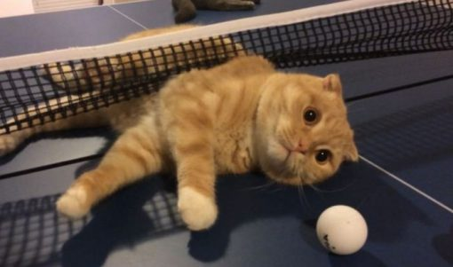 Cat Playing Ping Pong