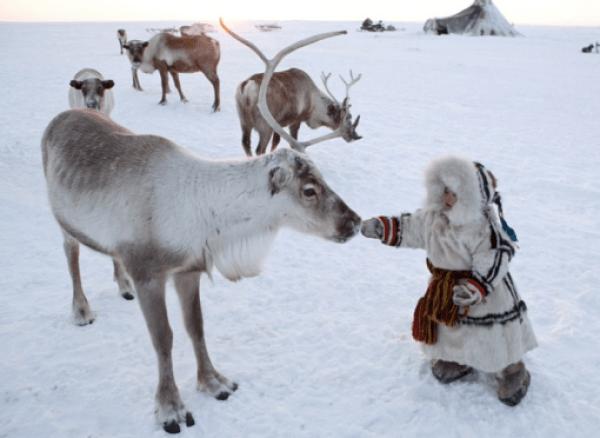 Siberian Tundra Reindeer