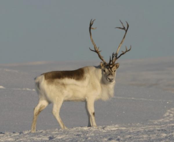 Peary Caribou Reindeer