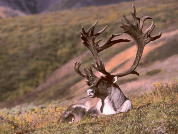 Barren-Ground Caribou Reindeer