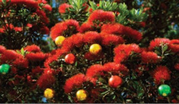 New Zealand's Christmas Tradition - The Pohutukawa Christmas Tree