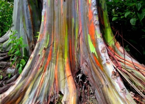 World's most colourful tree - Hawaii