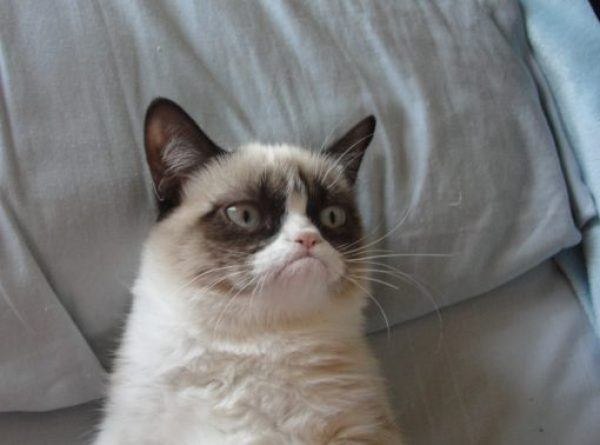 Grumpy Cat the Snowshoe Siamese cat