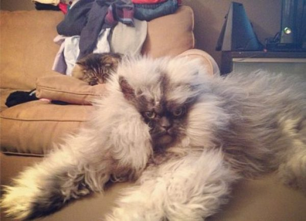 Colonel Meow the Himalayan-Persian Cross-Breed cat