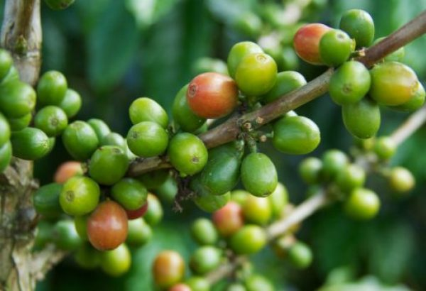 Colombia Coffee Production