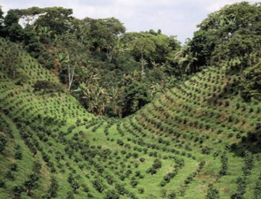 India Coffee Production