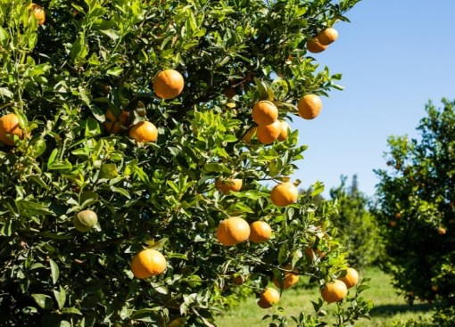 Italy Orange Production